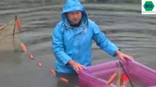 Cách người Nhật thu hoạch cá KOI