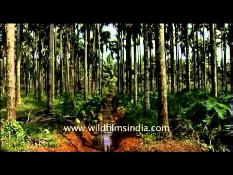 Areca nut plantation