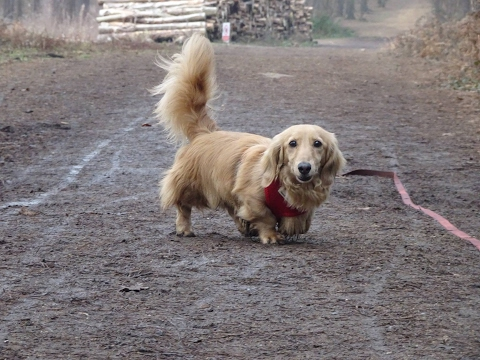Bingo - Mini Dachshund - 4 Weeks Residential Dog Training