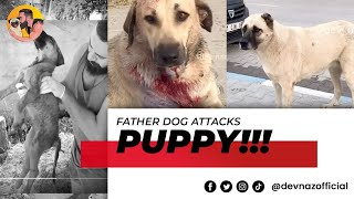 Father dog attacks puppy and leaves him with broken ribs internal bleeding damaged organs @dev_naz