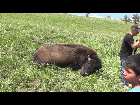 A Buffalo For Mom - Buffalo Hunt And Feast - Crow Reservation