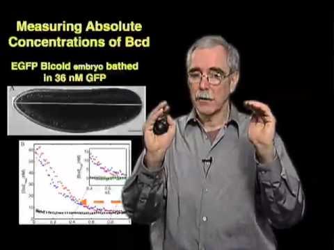 Eric Wieschaus (Princeton) Part 2: Stability of Morphogen Gradients & Movement of Molecules