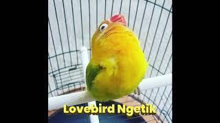 Masteran Suara Lovebird Ngetik & Ngekek Panjang, MANYOS!