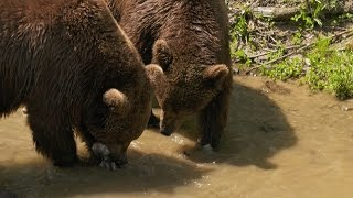 Domesticated Grizzlies Learn to Fish | Project Grizzly