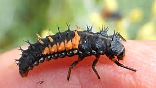 Ladybird larvae - Harmonia axyridis - Lirfa Maríubjöllu - Skordýr - Pöddur