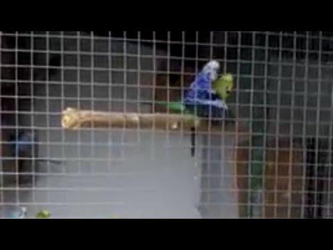 Разведение волнистых попугаев. Вольер для волнистых попугаев
