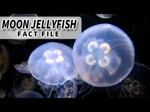 Moon Jellyfish Facts: Animals That Have Been To Space | Animal Fact Files