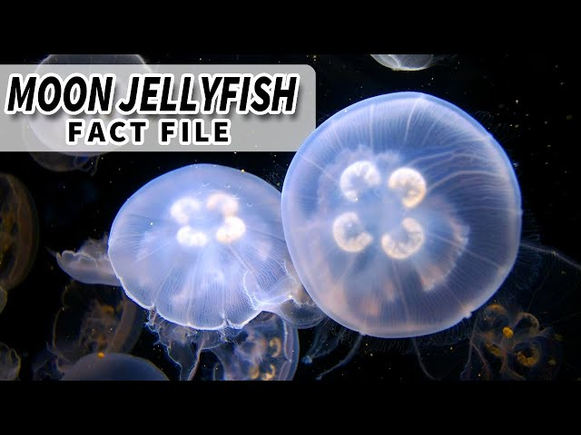 Moon Jellyfish | Animal Fact Files