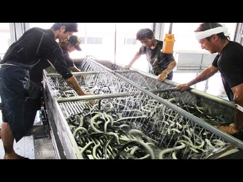 Amazing Japan Aquaculture Technology Farm - Asia Eel Grow to Harvest and Processing