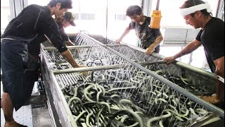 Asia Eel Grow to Harvest and Processing - Eel Farm Technology - Japan Aquaculture