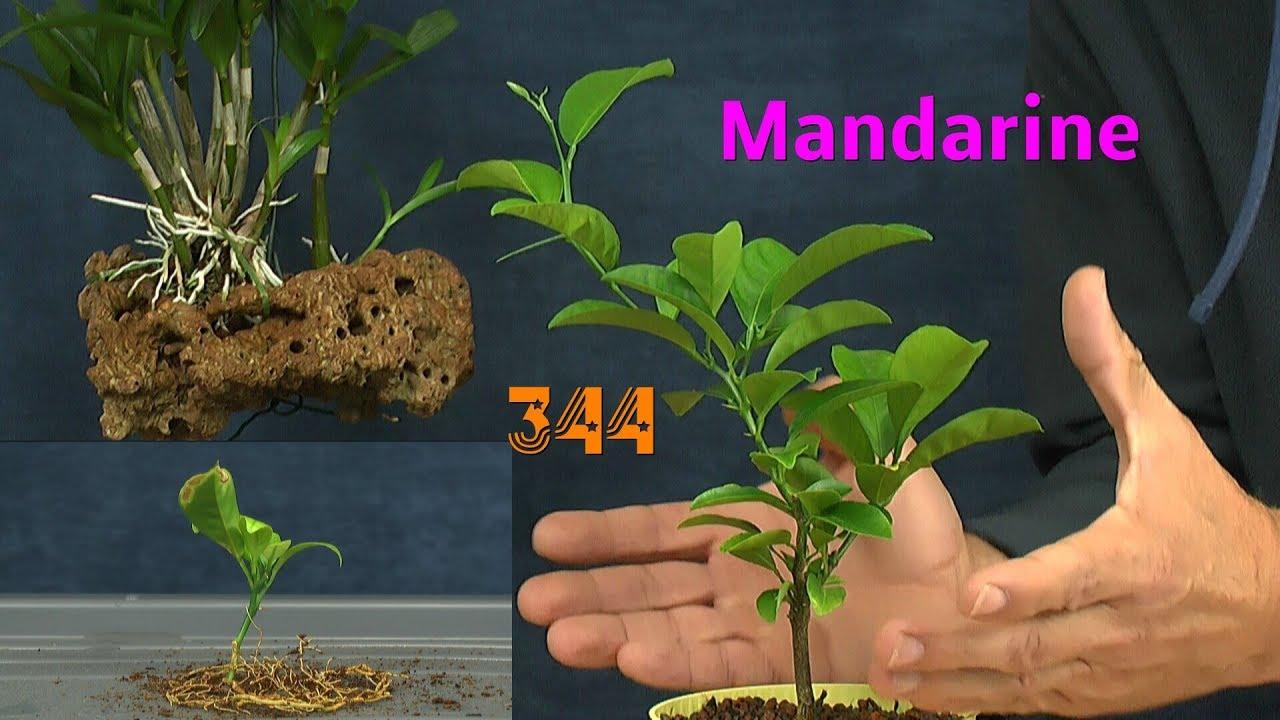 kaffee mandarine kumquat sternfrucht exotische pflanzen in der pflege youtube. Black Bedroom Furniture Sets. Home Design Ideas