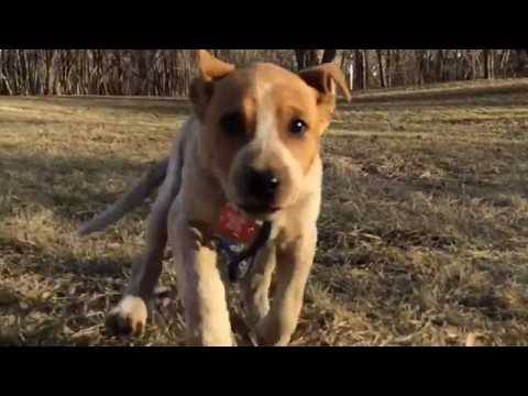 Loki the funny Red Heeler puppy, her puppy story!  MUST SEE!