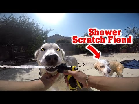 What It Takes To Shower My Siberian Husky | Hose Bathing My Long Fur Chihuahua