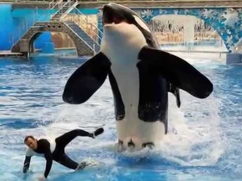 Killer whales in captivity vs wild - photo#5