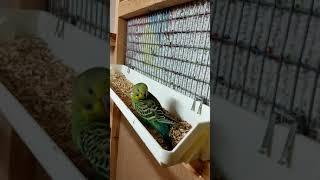 Спаривания  волнистых попугаев , и подросший молодняк.