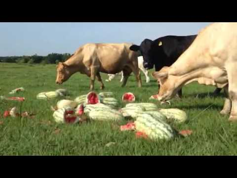 Cows eating watermelons! @ Hunter Farms, Inc.