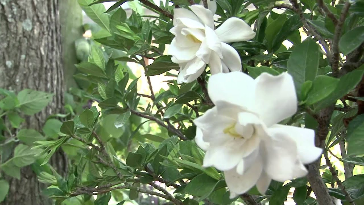 Jardin urbano video did ctico sobre jazmines perfumados for Arboles altos para jardin