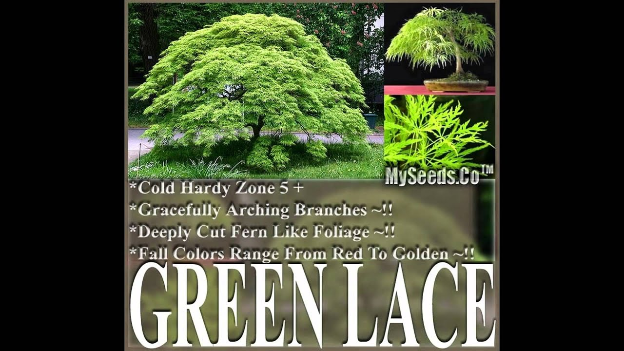 How to care for a fern leaf japanese maple - Green Lace Leaf Japanese Maple Acer Palmatum Matsumurae Dissectum Seeds Seeds On Www Myseeds Co