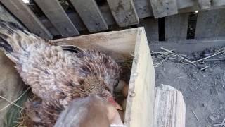 Como eliminar o piolho da sua criação de galinha, usando pulfo