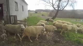 Mise à l'herbe Brebis 03 mars 2018
