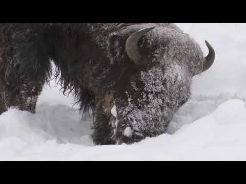 Snowy bison of Yellowstone.