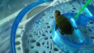 Красноухая декоративная черепаха Кузя