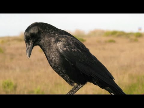 Science Today: Crow Intelligence | California Academy of Sciences
