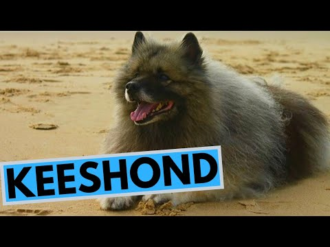 Keeshond Dog Breed - Facts and Information