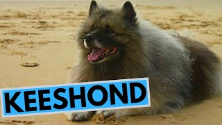 Keeshond Dog Breed  Facts and Information
