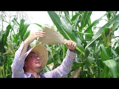 Non GMO Corn Pollinating at Baker Creek