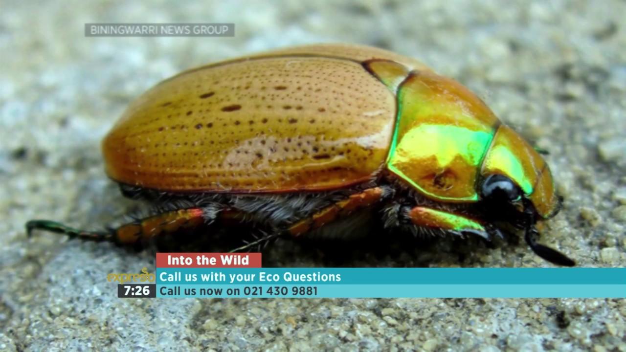 Christmas Beetle.Into The Wild Christmas Beetles 1 3