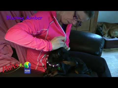 Manchester Terrier Ears Taping