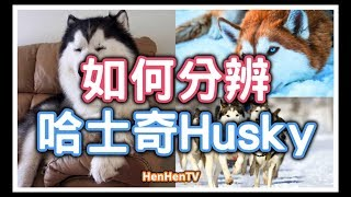 【哈士奇】 如何分辨不同品種的哈士奇?今天就來到馬六甲的Huskitory哈士奇體驗館和哈士奇玩吧!How to differentiate huskies? with eng subtitles