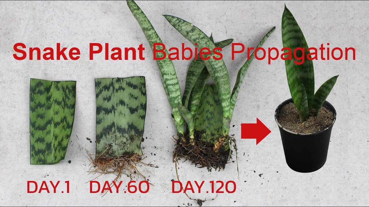 How to propagate snake plantㅣsnake plant propagation from ...