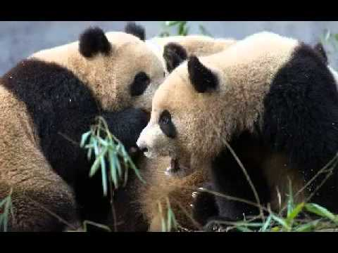 Facts about the Panda Bear - Panda Bear Books for Kids - YouTube