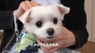 愛犬お宿 伊豆高原でわんこマッサージ習いました.