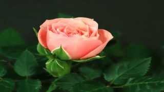 Распускающиеся цветы(Нужны подписчики? Получите подписные страницы! http://galinavanina.ru/news/12-5/index1.html Я, Глина Ванина, представляю видео..., 2014-12-16T10:40:23.000Z)