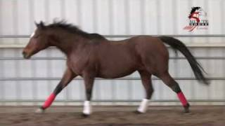 Horse Gaits:  What is Cross Firing or What is Disunited Canter? **see note below**