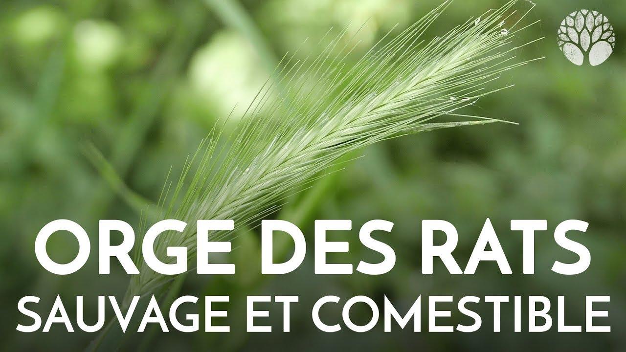 L'ORGE DES RATS - Plante sauvage comestible