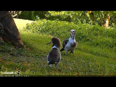 7 14 2016, Laysan Albatross Chick Battle Around the Big Tree