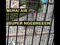 Murai Air Gacor Nembak Ngebren Rapat Masteran Murai Batu  Mp3 - Mp4 Download