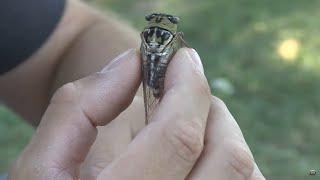 Sounds of the cicada