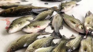 Chasing whitebass in Fremont Wisconsin ft. Marko/ Catch n cook