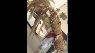 بالفيديو.. عامل باكستاني يحمل نخلة بمفرده.. ومغردون يبدون حيرتهم إزاء الموقف