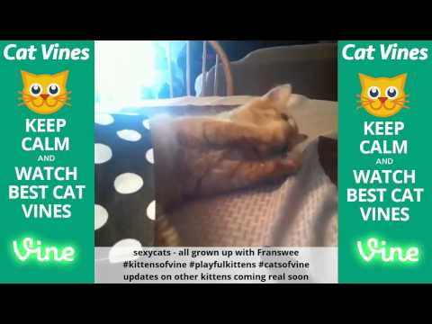 Funniest Cat Vines #115 - Updated September 13th, 2015