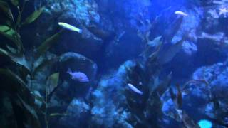 California Current Aquarium Kelp Beds Oregon Coast Aquarium Newport OR
