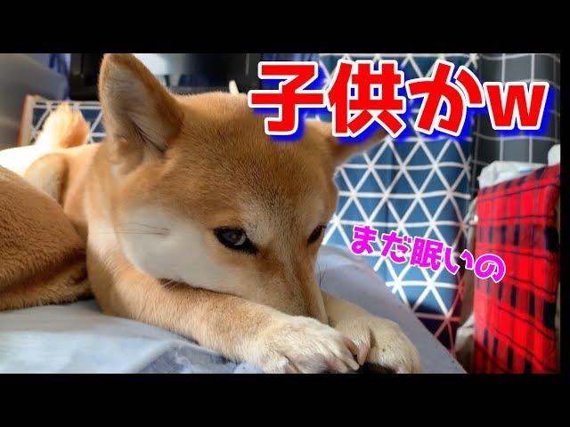 まだ寝たいのと駄々をこねる柴犬ハナ — Shiba wants to sleep