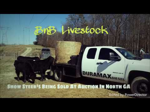 Show Steer's Being Sold At Cattle Auction In North GA
