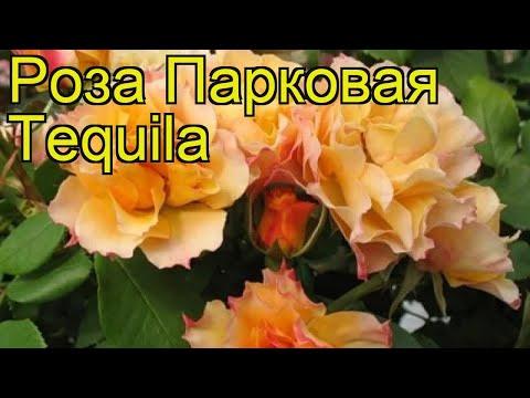 Роза парковая Текила. Краткий обзор, описание характеристик, где купить саженцы Tequila
