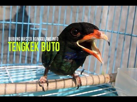 [HEBOH] Tengkek Buto Gacor Buat Masteran Murai Mp3